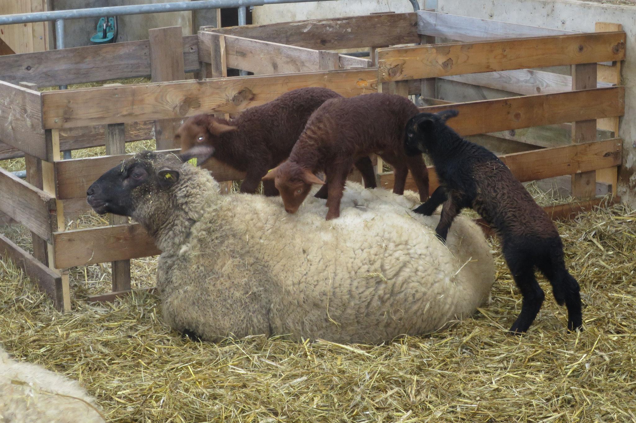 März - Die frisch geborenen Lämmer erkunden ihre Umgebung.
