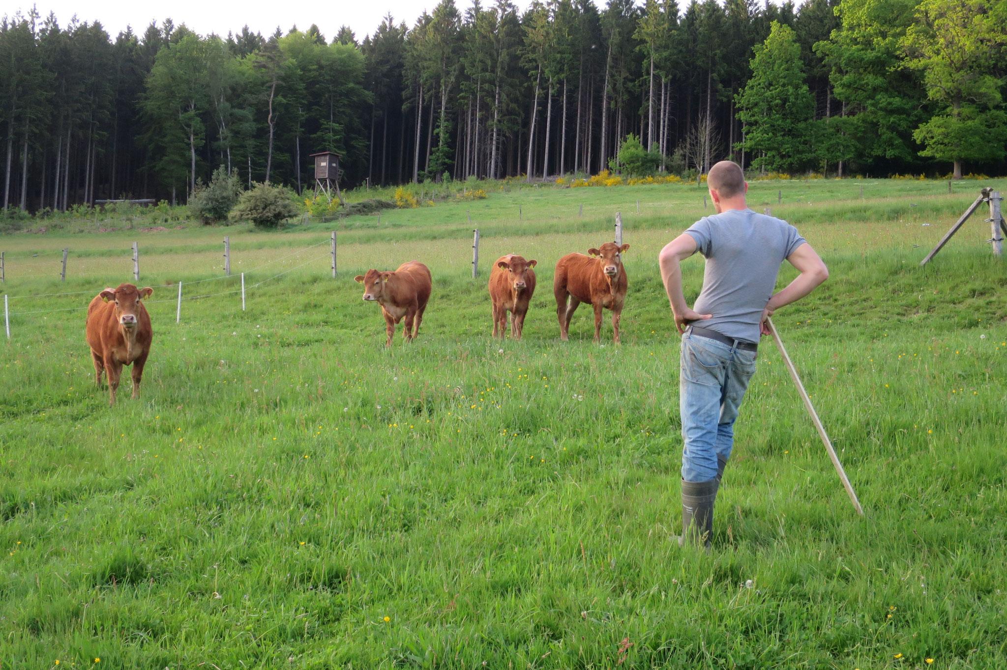 Mai - Limousin-Rinder