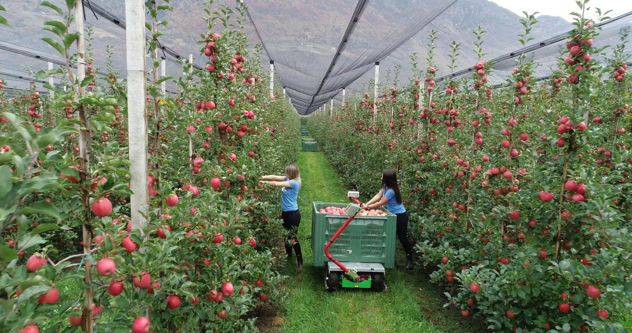 Apfelernte Frucotec Erntewagen