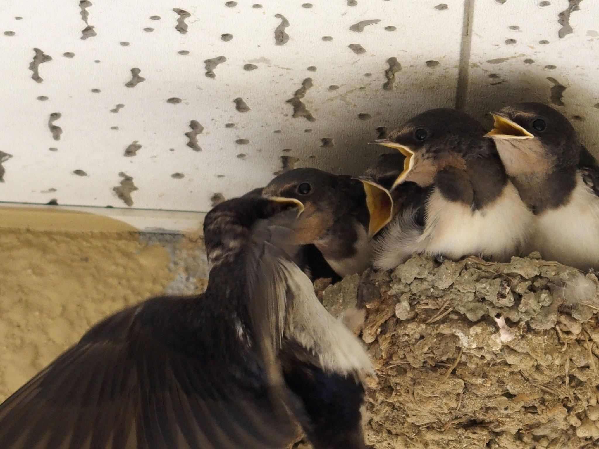 春先にはツバメが巣に訪れます