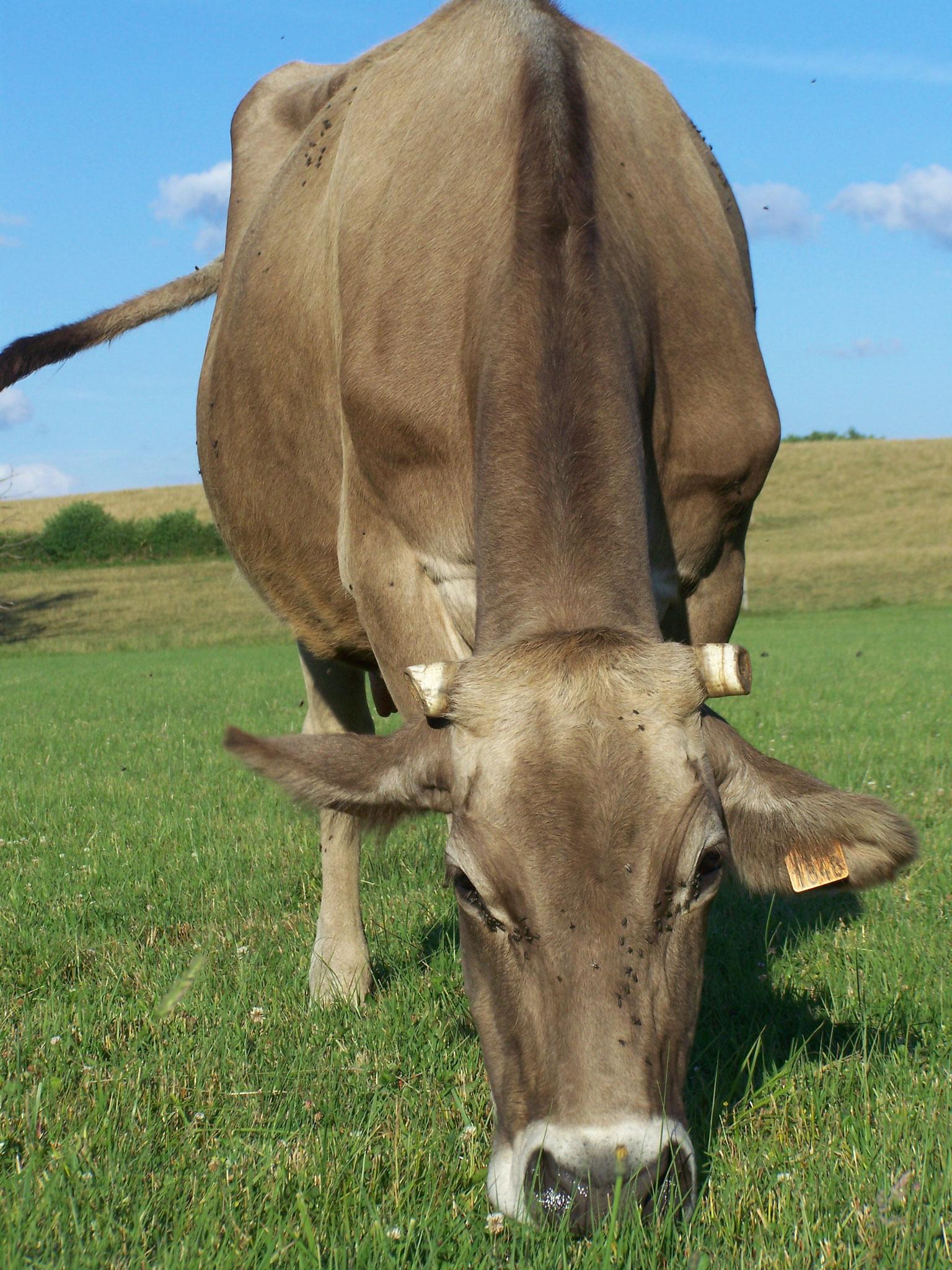 Vache laitière brune des Alpes