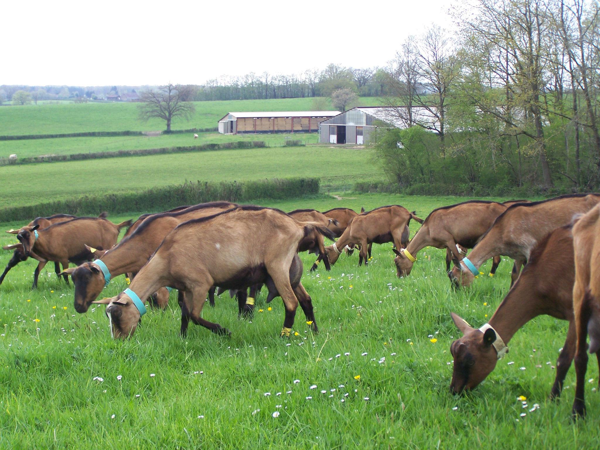 Avoir un troupeau bien élevé au pâturage pour avoir un fromage de qualité