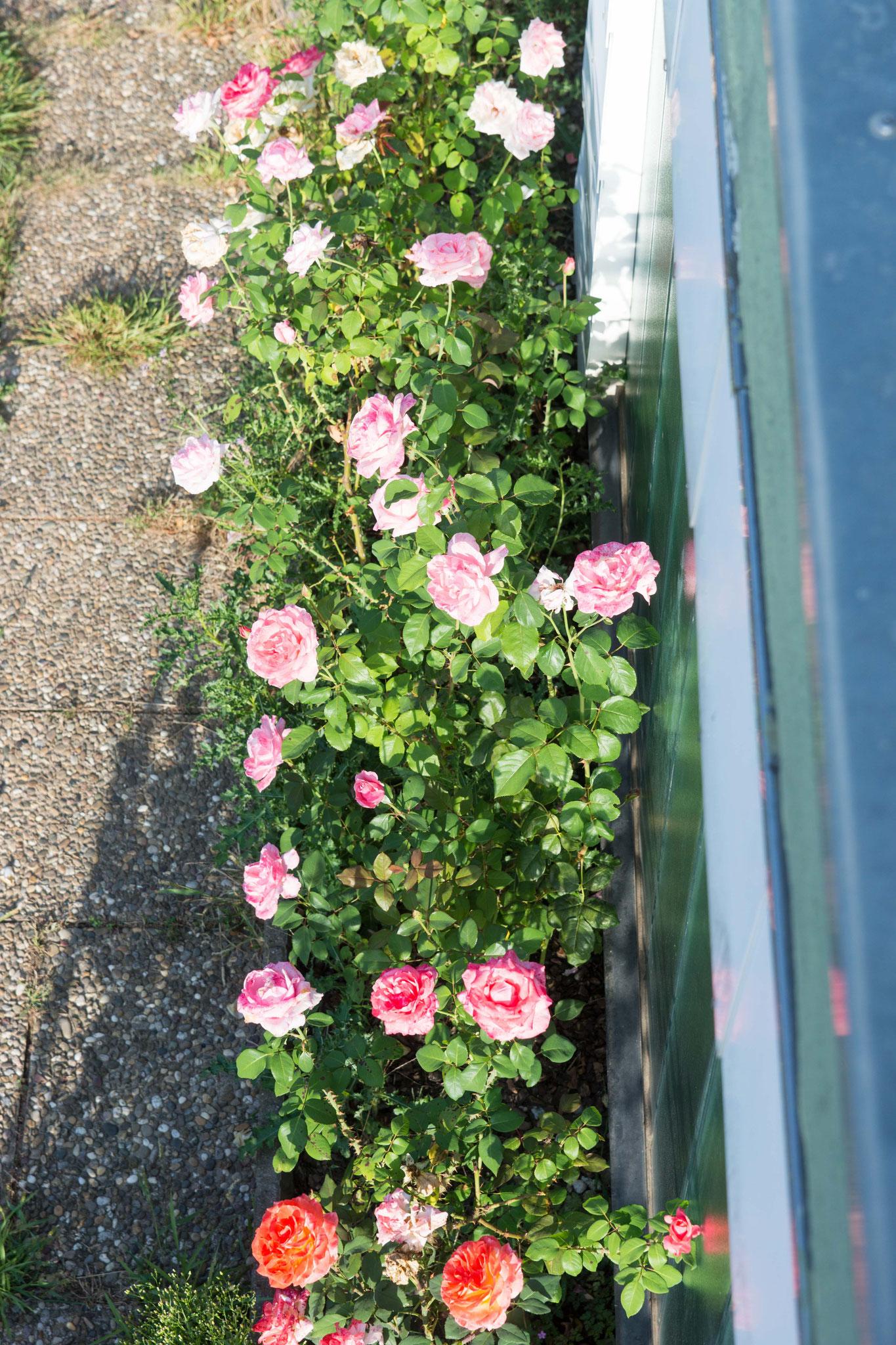 und die Rosen. ;-)