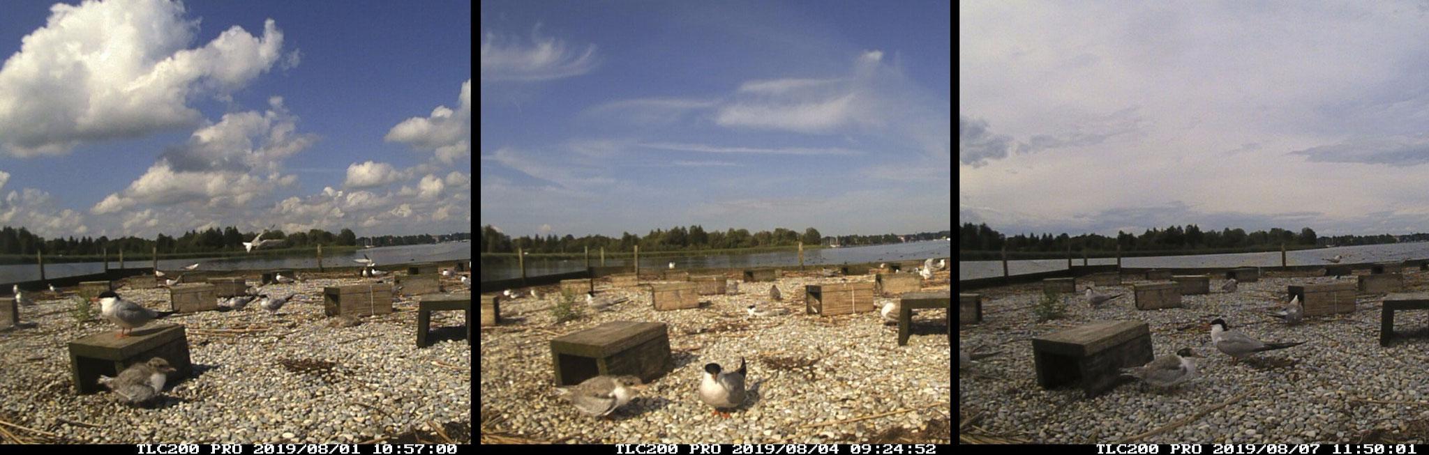 Die Aufnahmen vom 01.-07.08.2019 zeigen das schnelle Wachstum des Jungvogels (linsk vorne). Auch das Gefieder wechselt vom Kükenflaum zum Jugendkleid.
