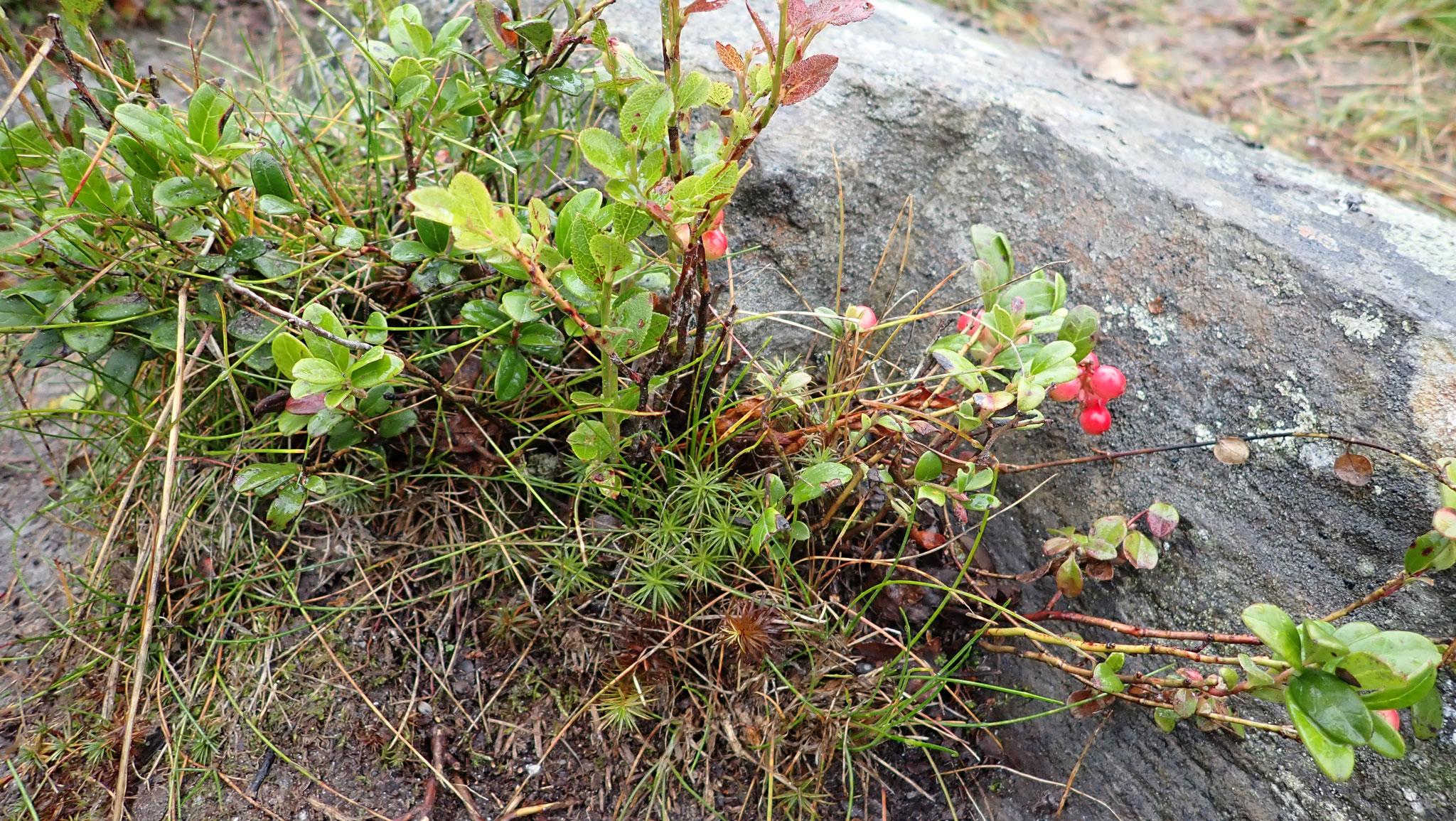 Preiselbeerpflanze