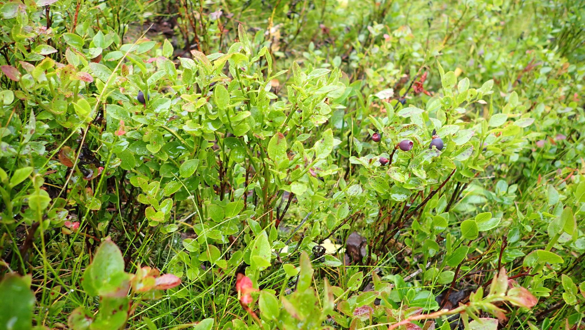 Heidelbeerpflanze