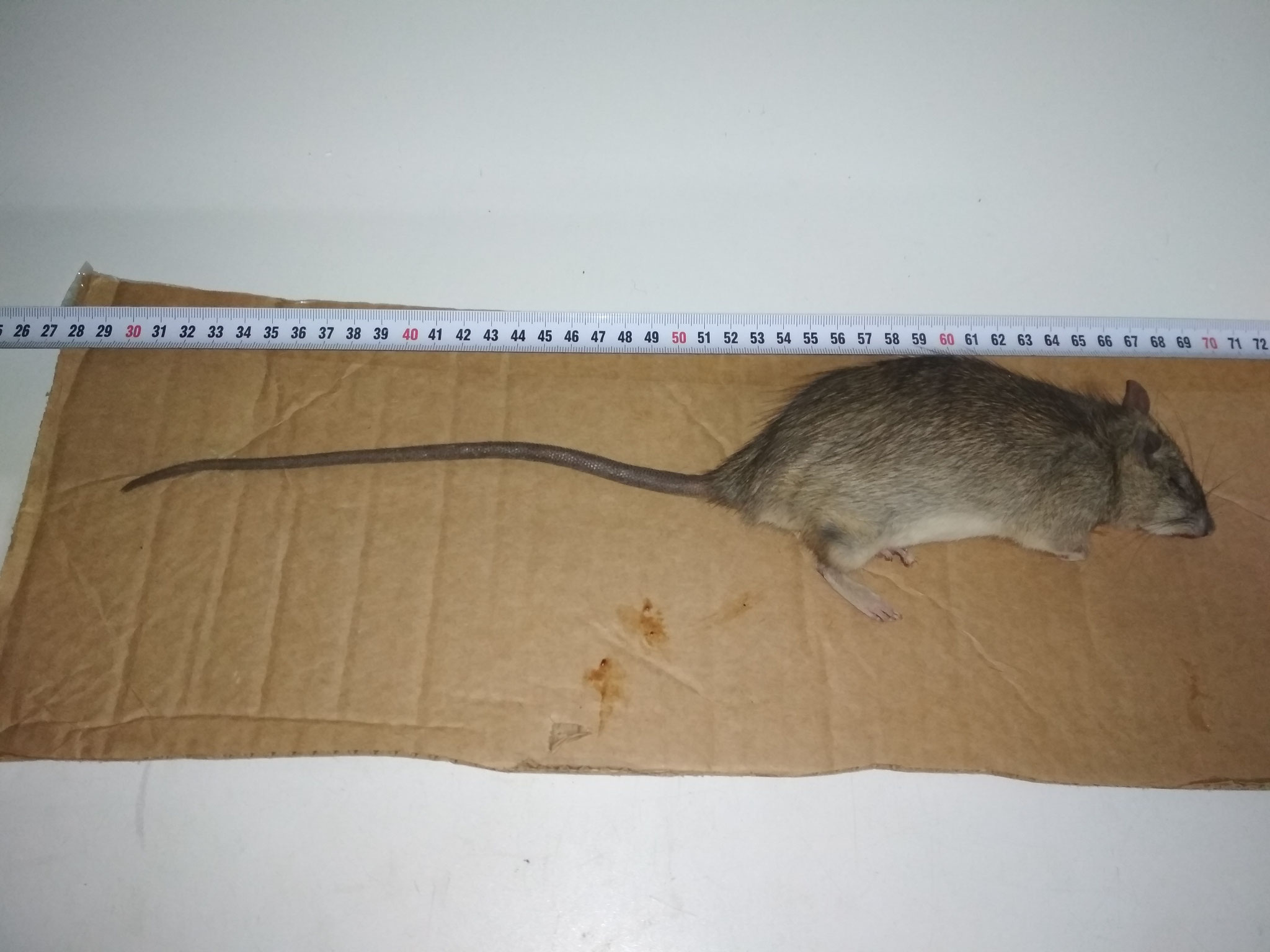 Control y gestión de rata muerta