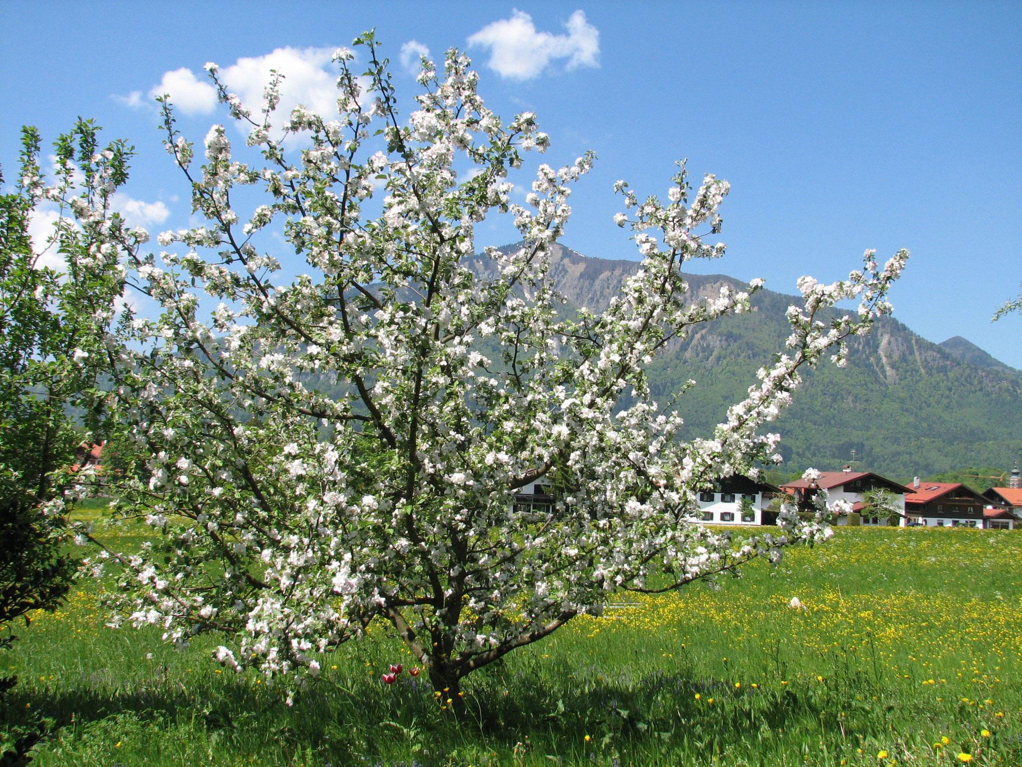 Apfelbaum auf Spielwiese