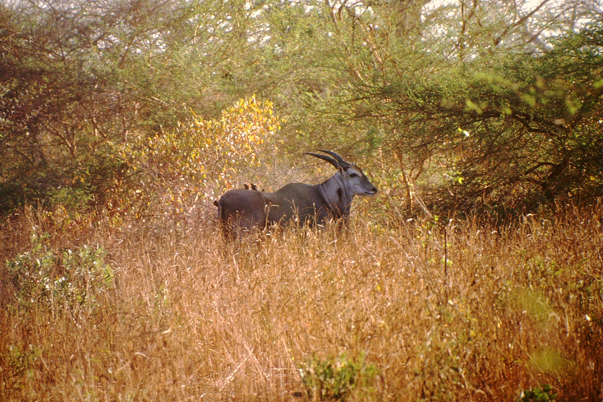 Oryx Gazelle.