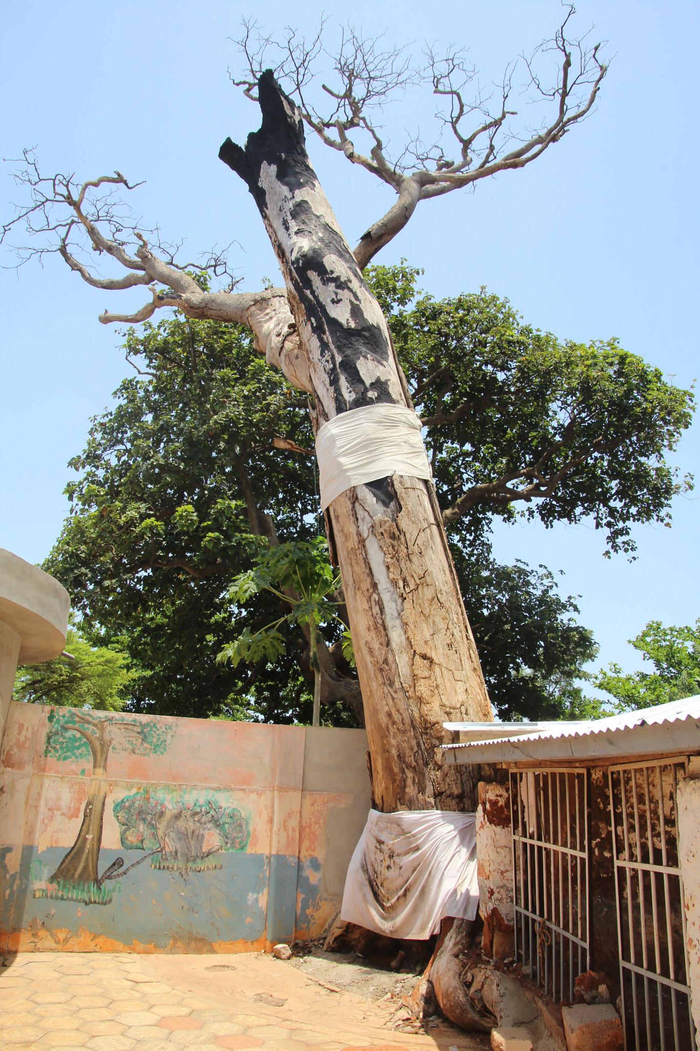 600 jähriger Baum.