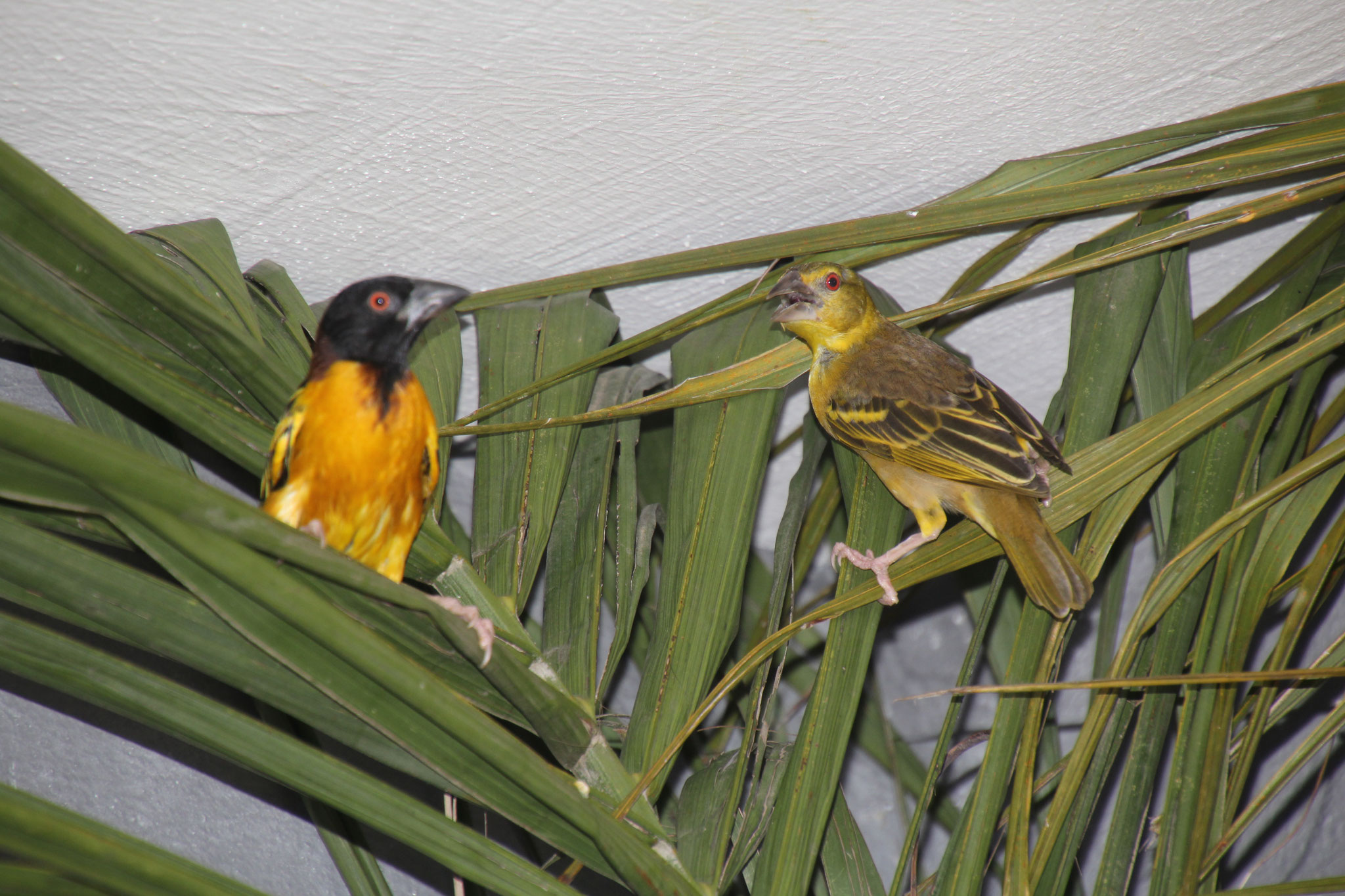 Webervögel nisten gerne in den Palmen.