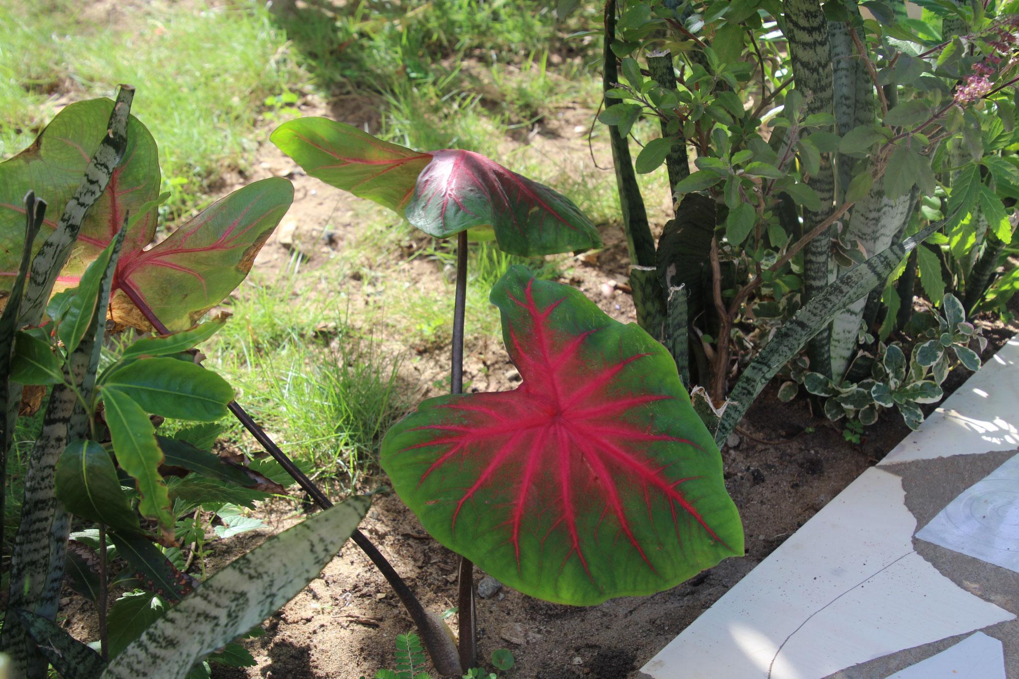 """Diese Pflanze wächst nur während der Regenzeit.  Man nennt sie hier """"das Herz Jesu"""""""