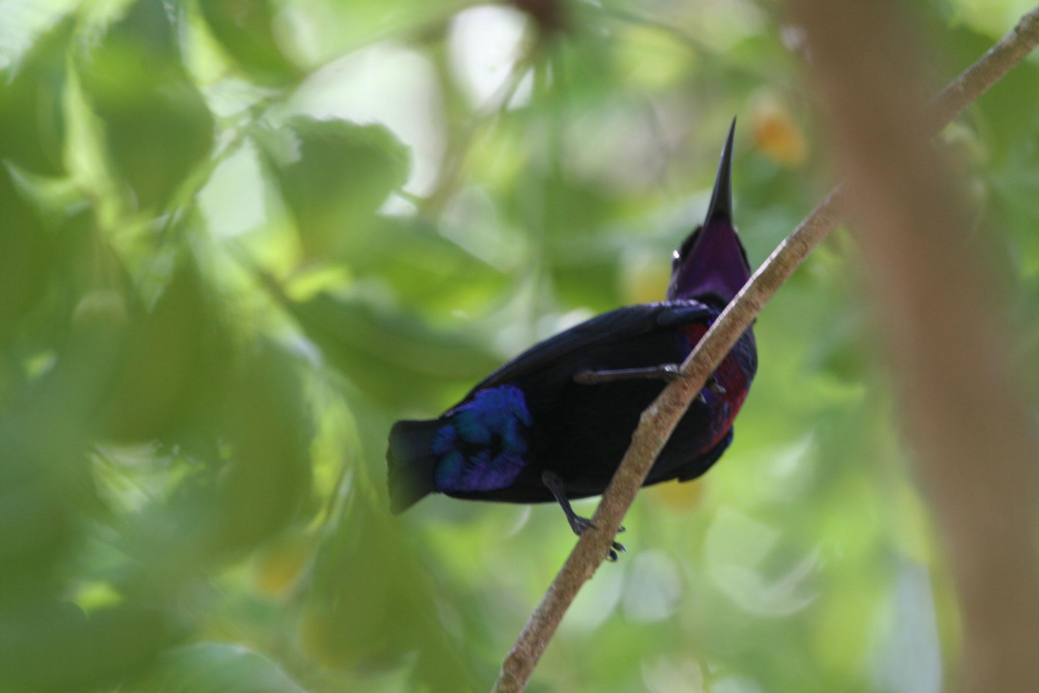 Rotbauchnektarvogel