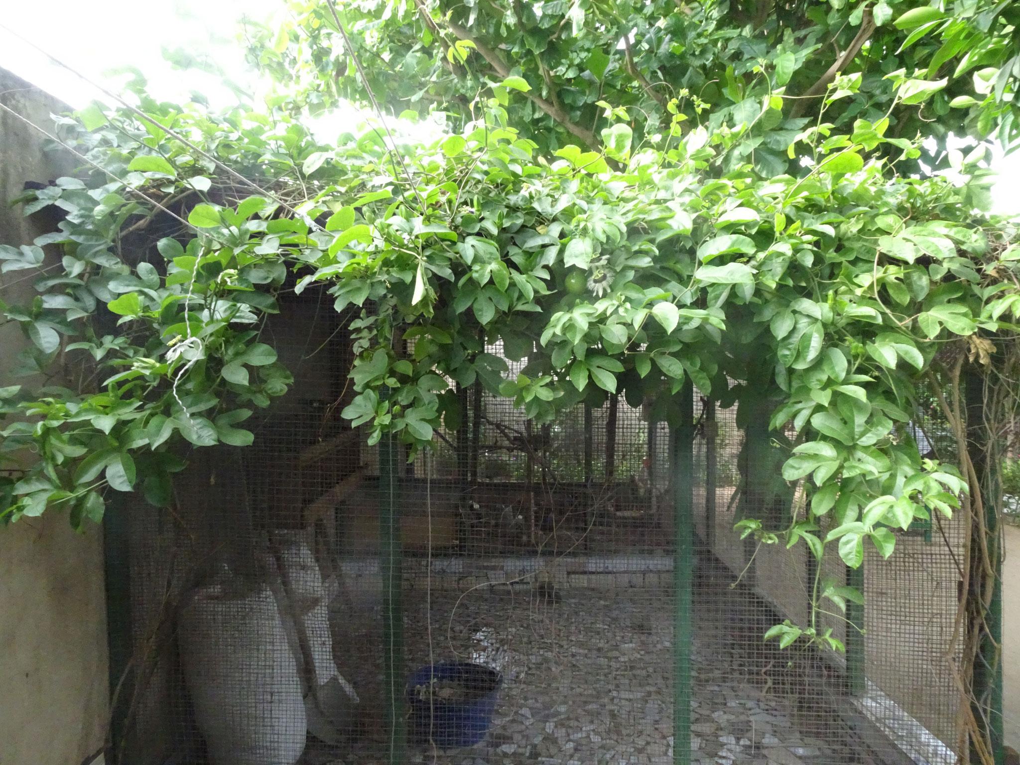 Weil das Hühnerhaus komplet gedeckt ist mit der Passionsfrucht, konnten wir es nicht abreissen.