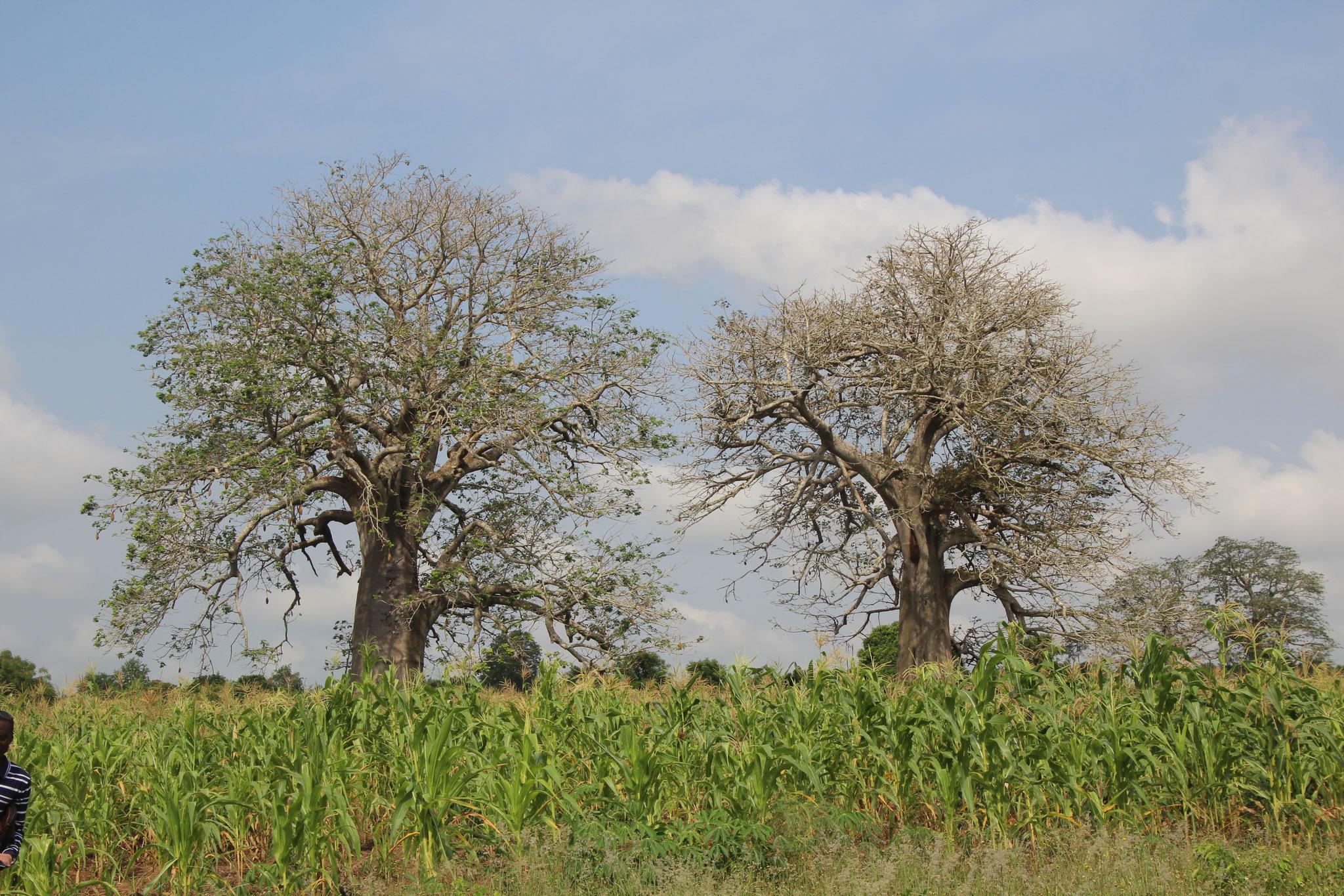 20. Baobabbäume.