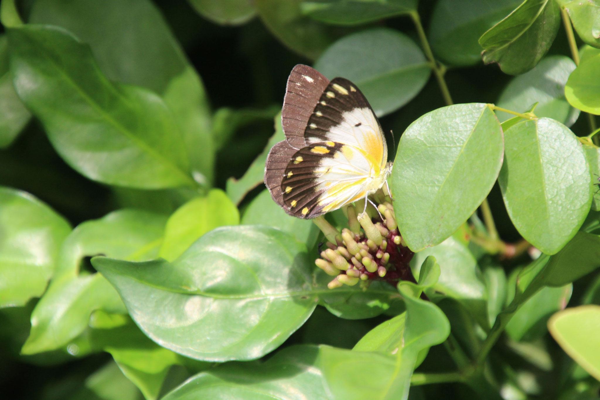 Schmetterling, das Männchen hat viel mehr gelb als das Weibchen. Auch die Punkte am Flügelrand sind Gelb.