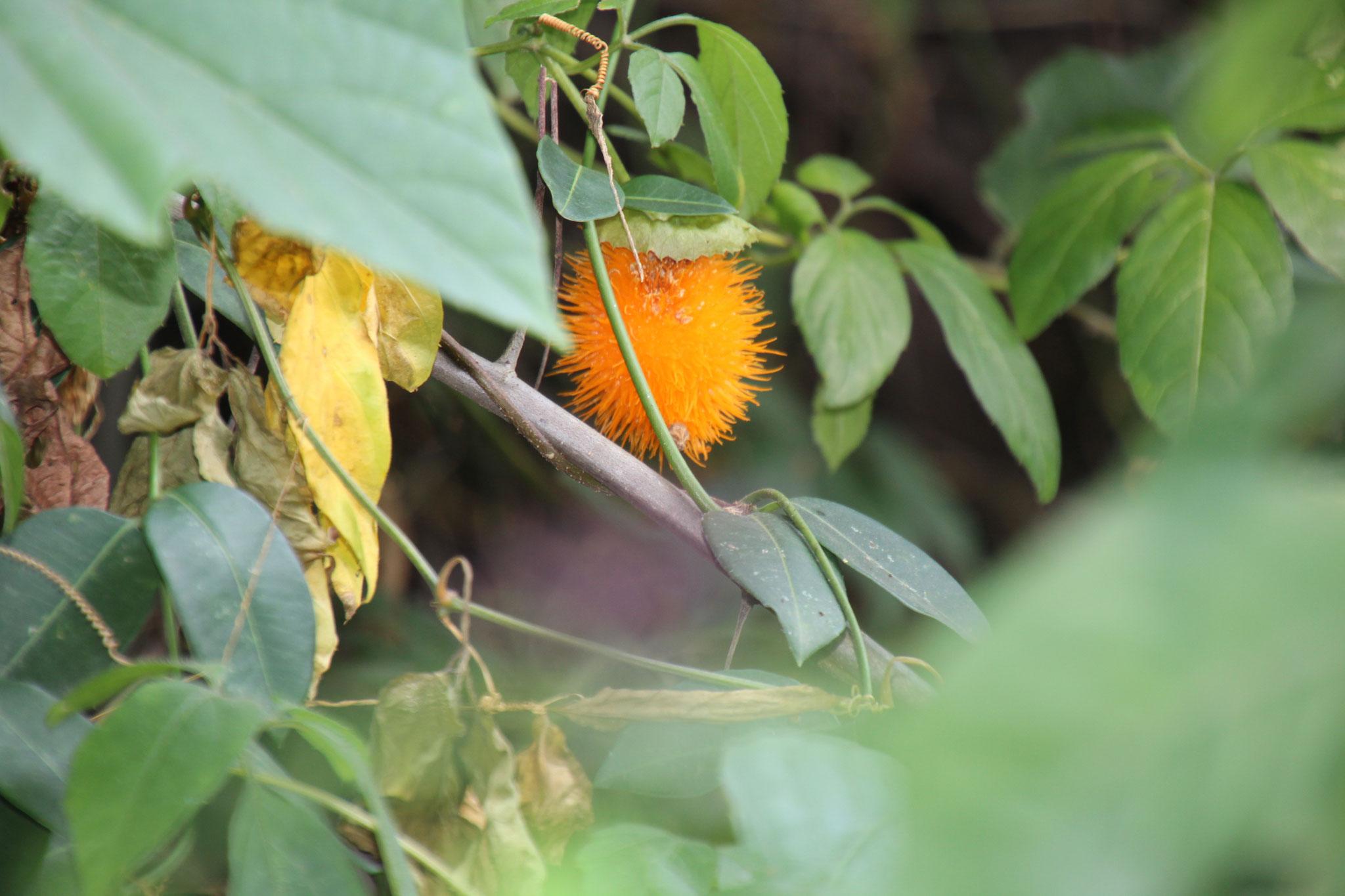 Mormodica foetida auch Bittermelone genannt. Diese Frucht ist essbar.
