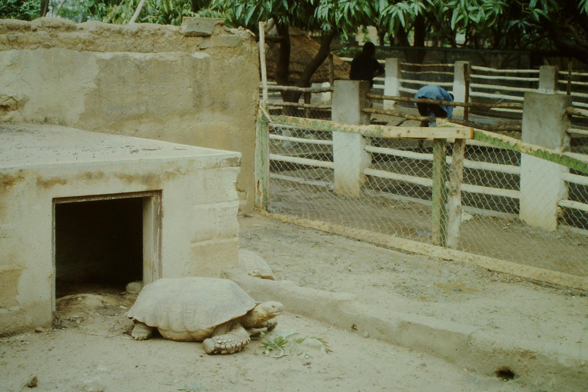 Riesenschildkröte im Zoo von Ouagadougou..