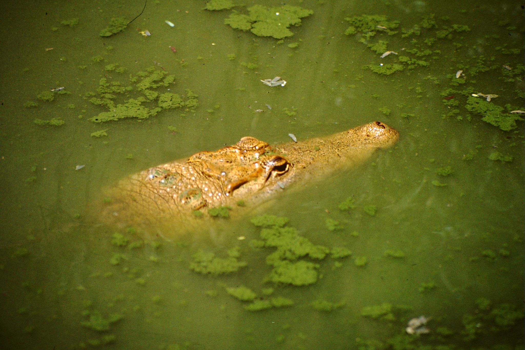 Die Piste führte uns durch ein Sumpfgebiet. Weit weg vom nächsten Dorf. Zuschauer gab es trotzdem. Wenn es auch nur ein Krokodil war.