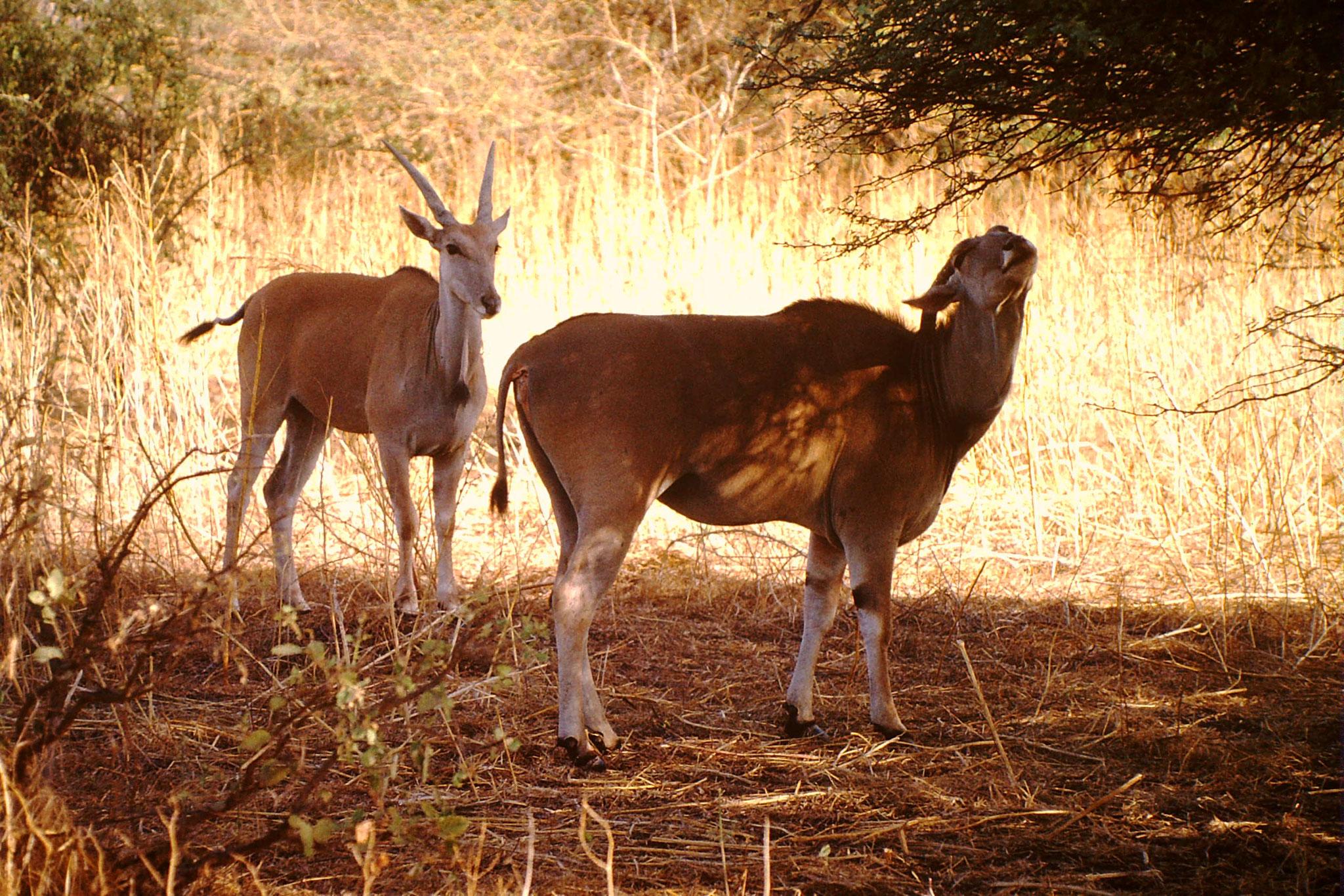 Oryx Gazellen.