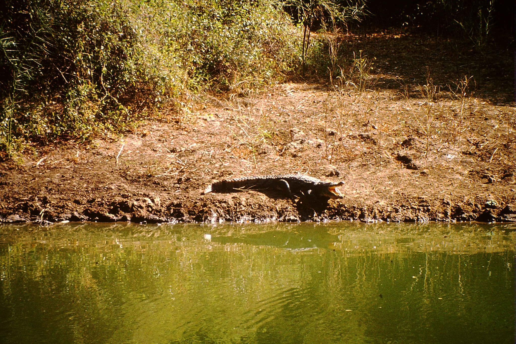 Krokodil.