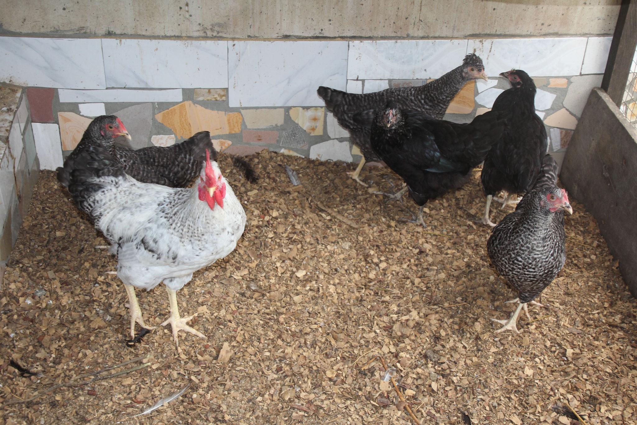 Unsere Hühner.