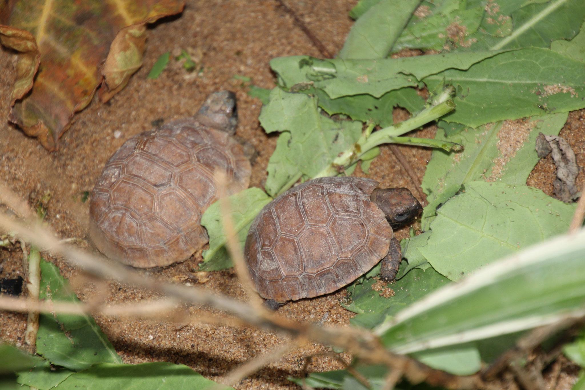 2 der im Januar geschlüpften kignixys Schildkröten.