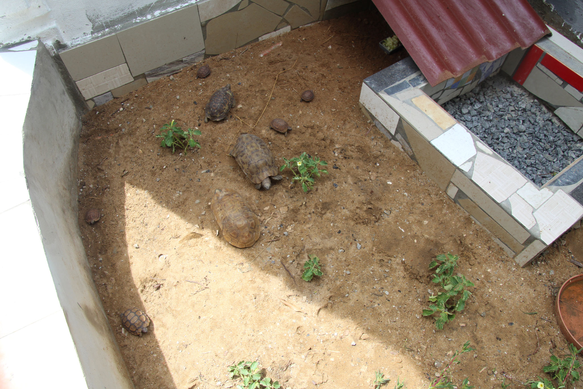 Unsere 8 Kignixuys Bellina Schildkröten.