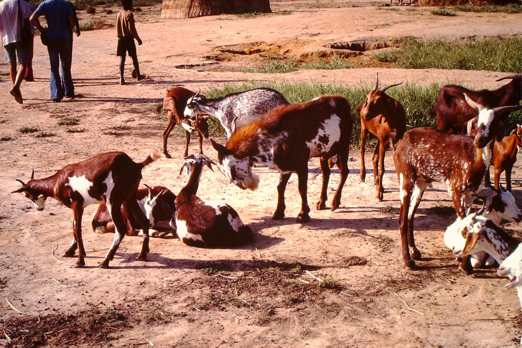 In der ganzen Sahelzone gibt es sehr viele Ziegen. Menschen die viele Ziegen haben, gelten als Reich. Da die Ziegen das Gras aber mitsammt den Wurzeln fressen, tragen sie auch dazu bei, dass die Erde noch mehr austrocknet.