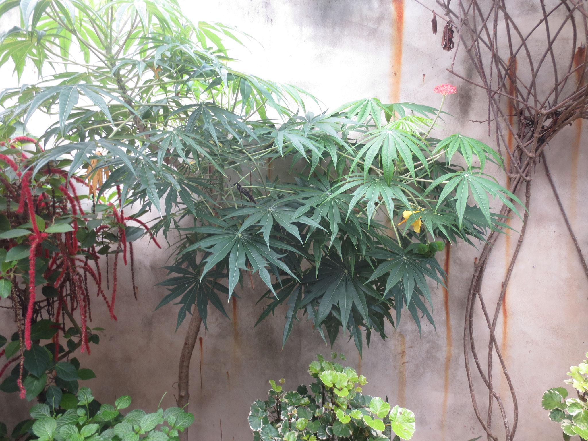 Das ist nicht Canabis. Diese Pflanze ist sehr einfach zum vermehren.