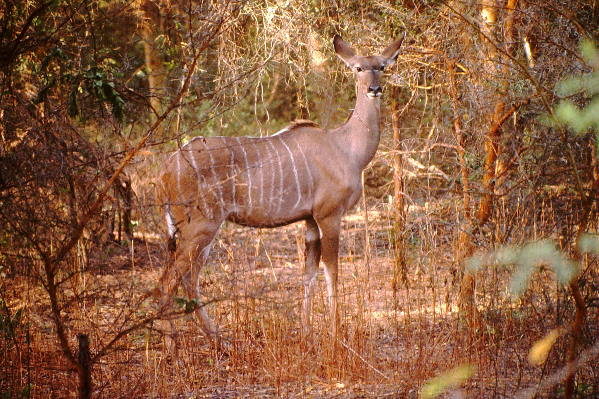 Kleiner Kudu.