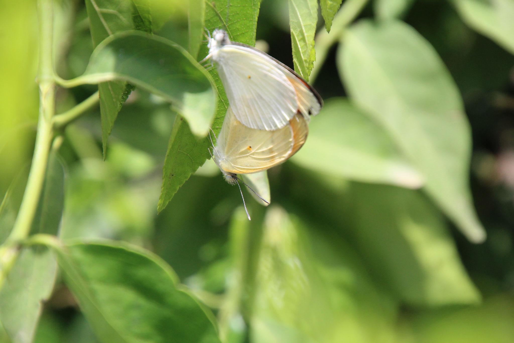 14. Schmetterlinge bei der Paarung.