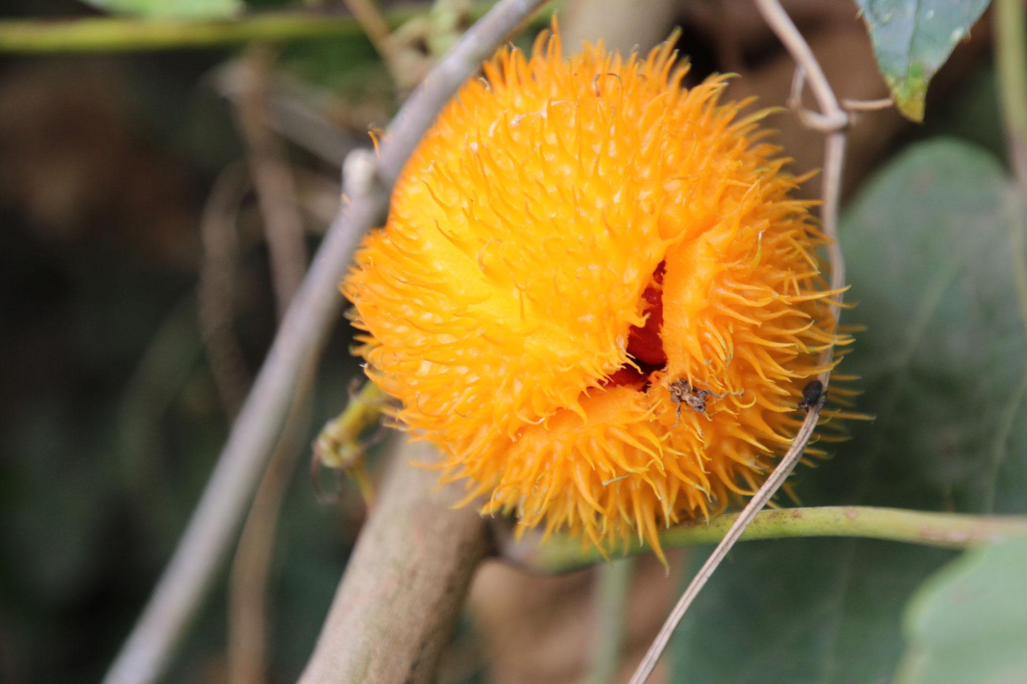 Mormodica foetida. Wenn sie reif ist, platzt sie auf. Loic und ich haben diese Frucht geteilt. Wir werden beide versuchen, sie im Garten zu kultivieren.