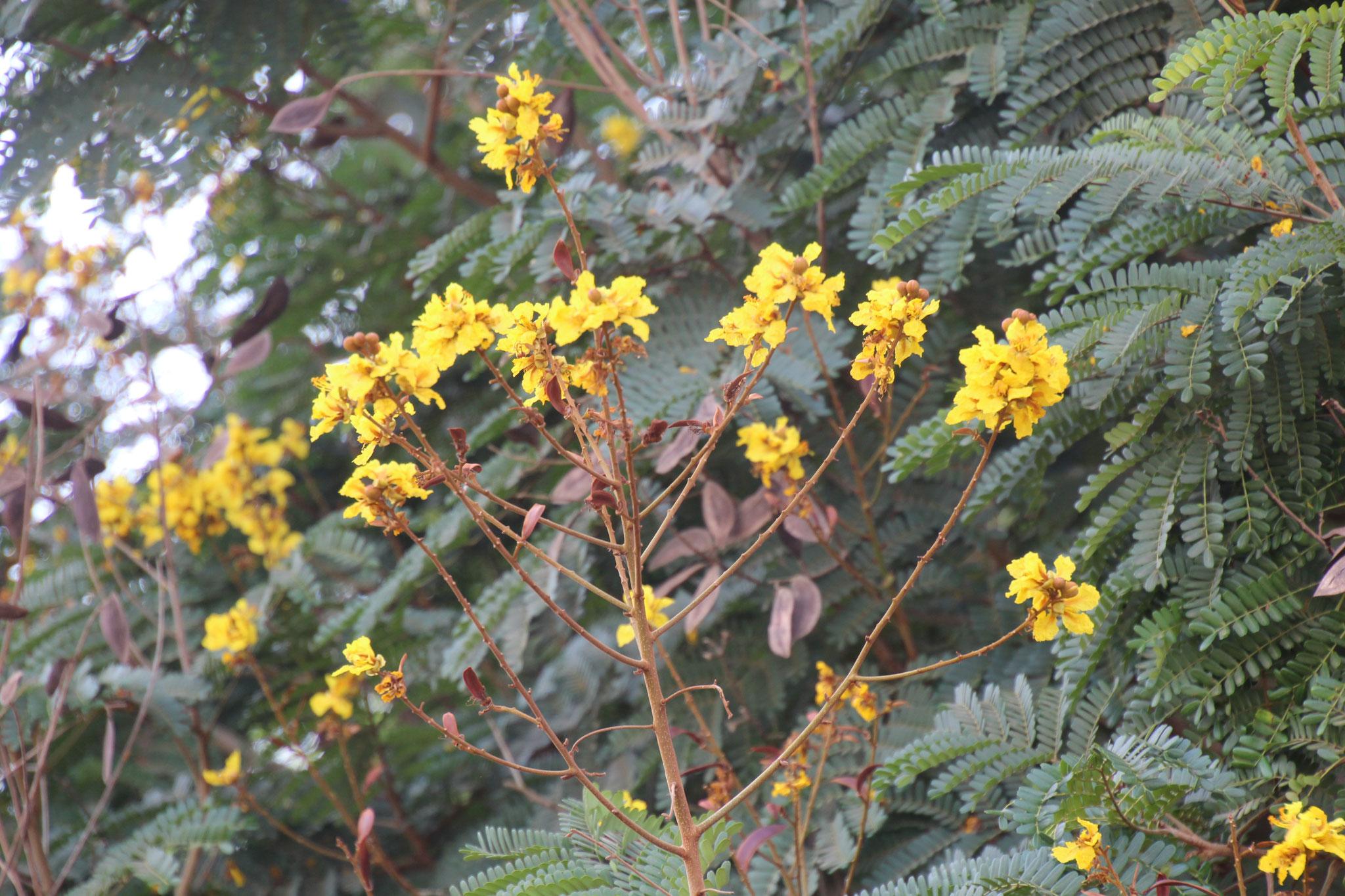 Strauch mit gelben Blüten.