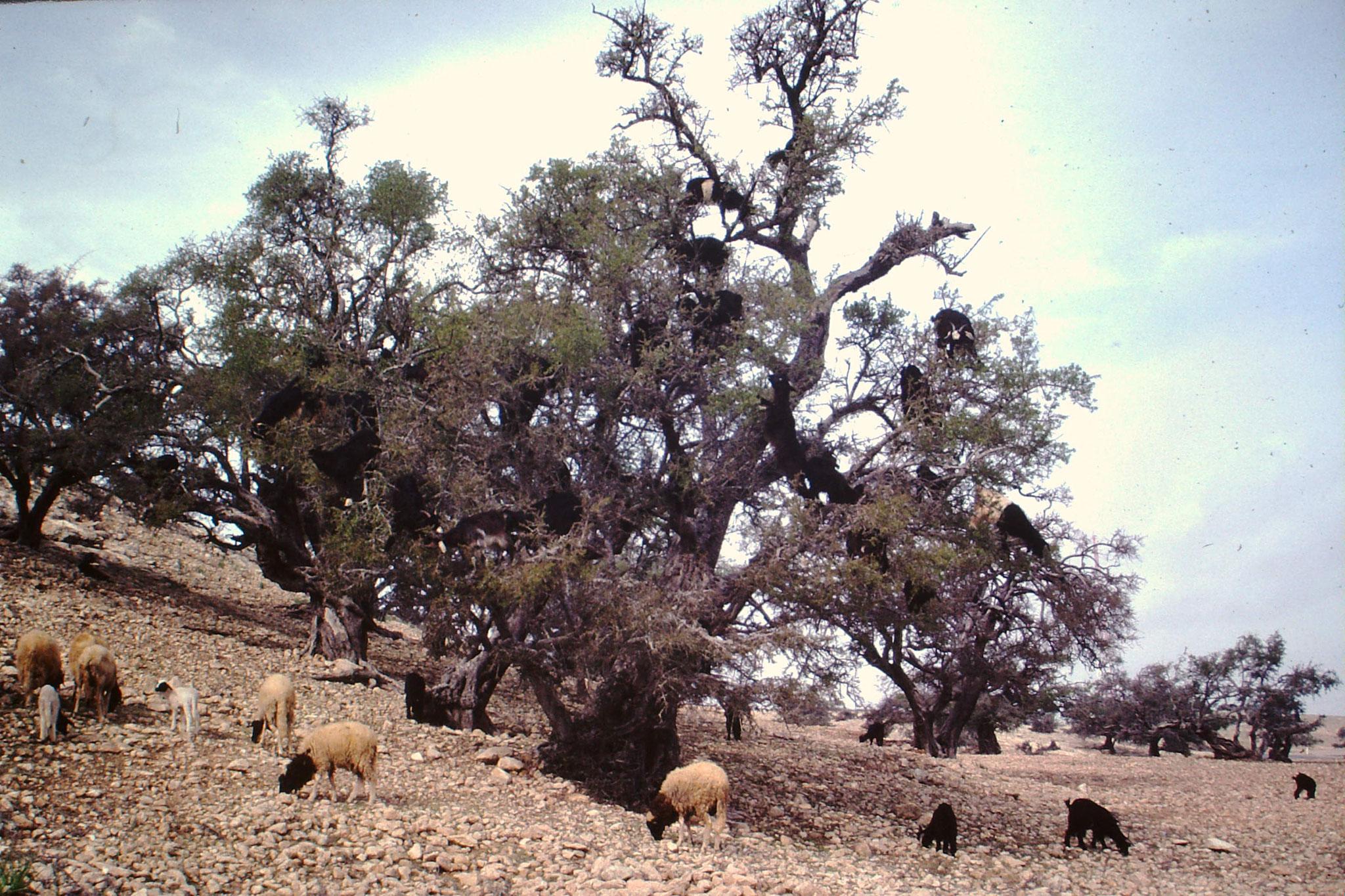 Ziegen auf einem Baum