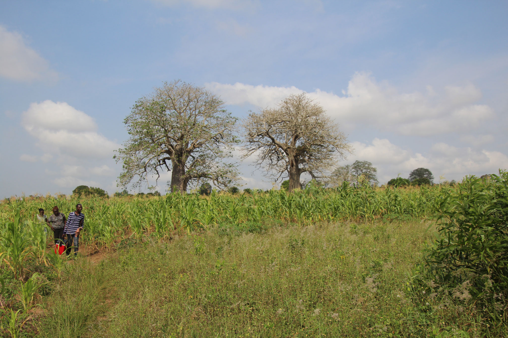 19. Landschaft mit Baobabs bei Come Benin.