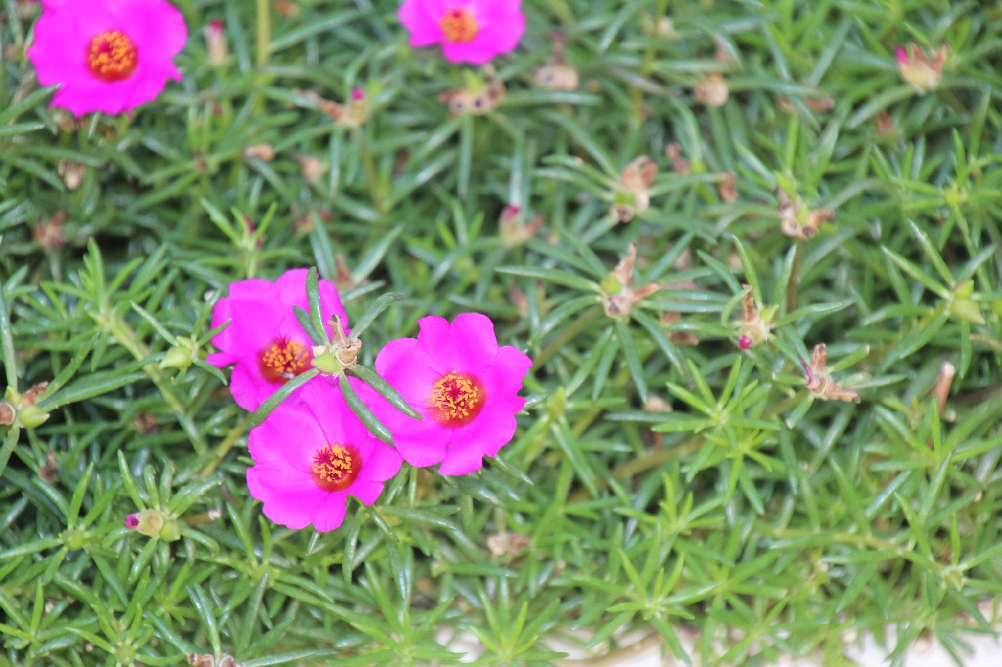 """Dieses Blümchen nennt man hier """"Guten Tag guten Abend"""".  Wir haben dieselbe Blume auch in Weiss."""