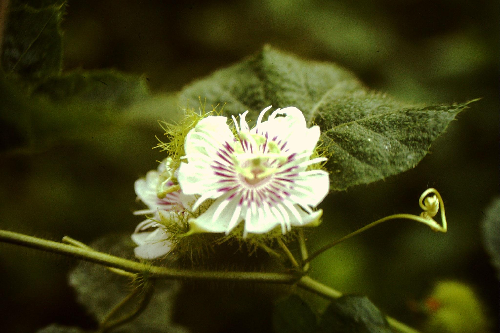"""15. Im Ordner in dem ich fein säuberlich die Dias beschriftete steht bei diesem Bild """"Blume"""". Mittlerweile weiss ich, das dies die Blüte der Frucht Maracuja ist. Maracuja wird auch  Passionsfrucht genannt. Im Nachhinein ärgert es mich, dass wir nicht nach"""