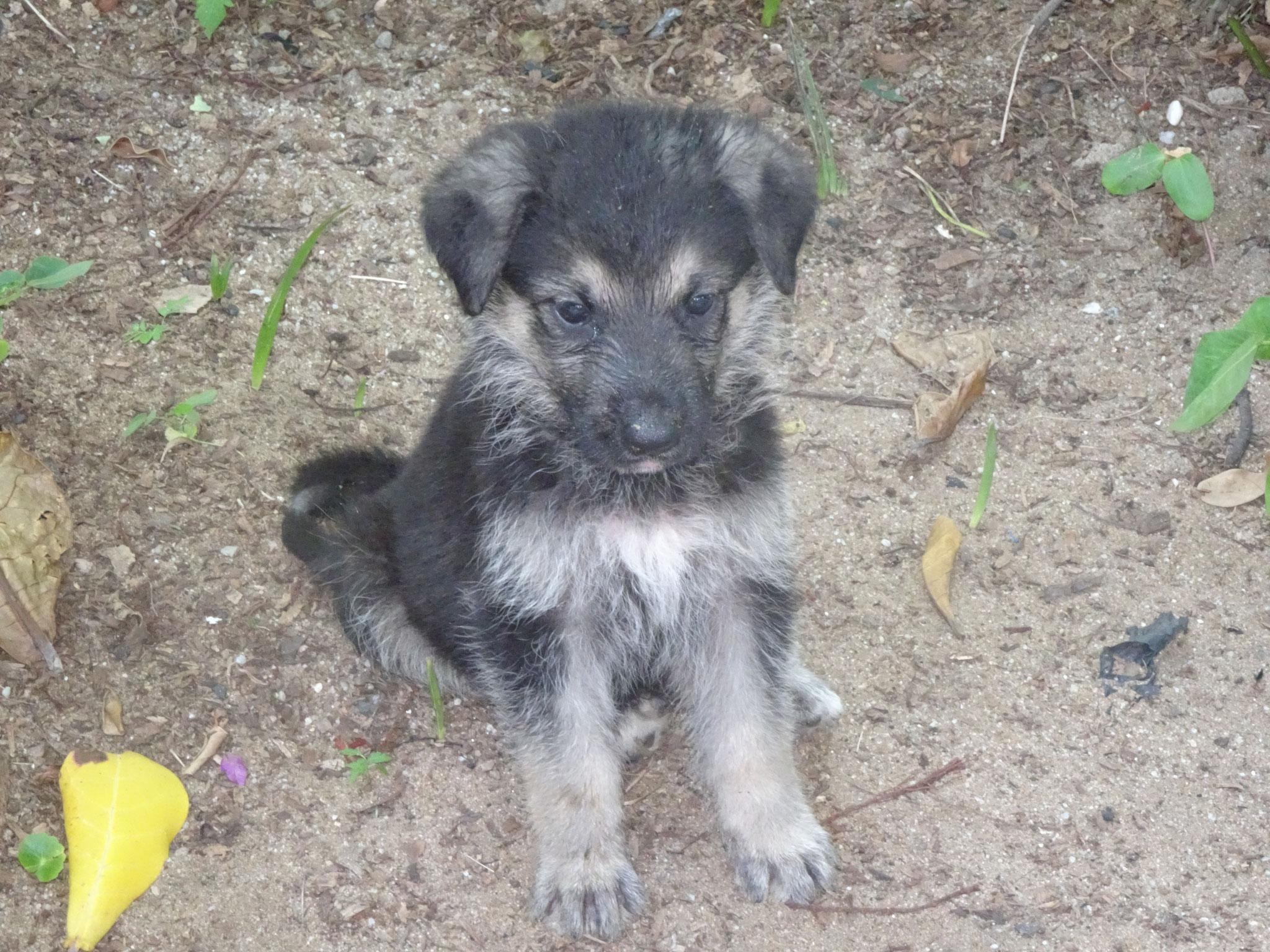 Zudem haben wir 9 Junge Schäferhunde