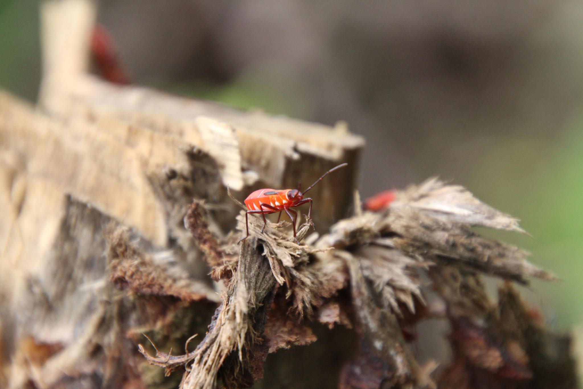Dieses Insekt ist etwa 5 mm lang