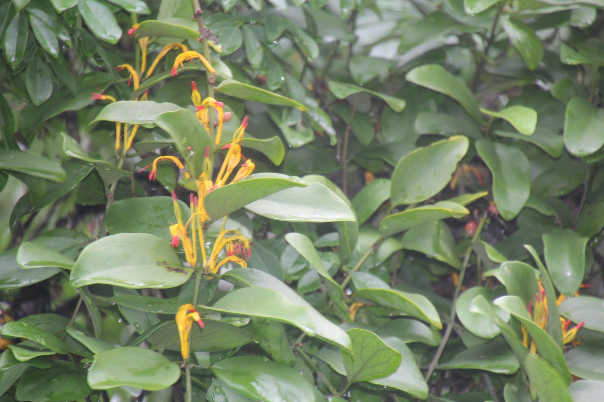 Diese Blüte gilt als Schmarotzer. Sie hat heinen Kontakt zum Boden.