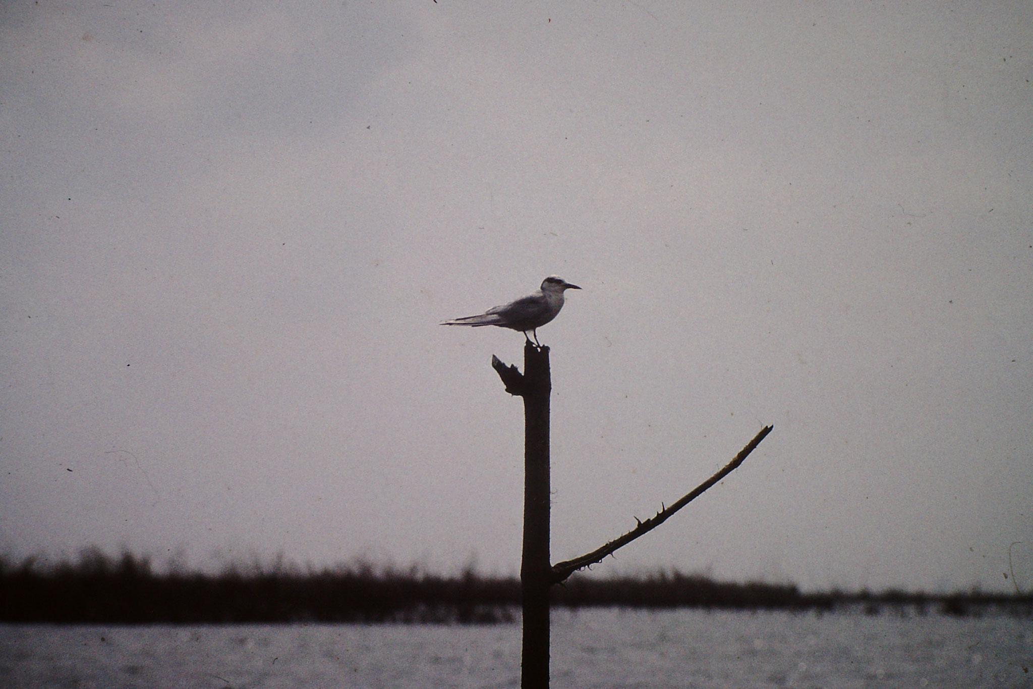 Vogel. Es könnte eine eine Fluss-Seeschwalbe sein.
