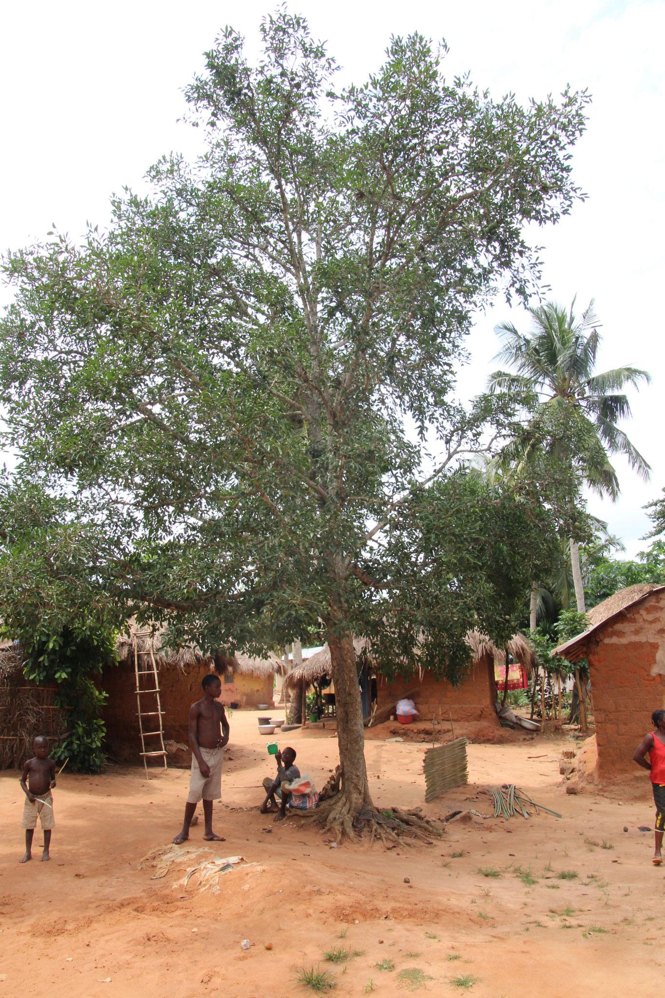 Dieser Baum ist ein bedeutungsvoller Baum. Er soll den ganzen Kral vor Unglück schützen.