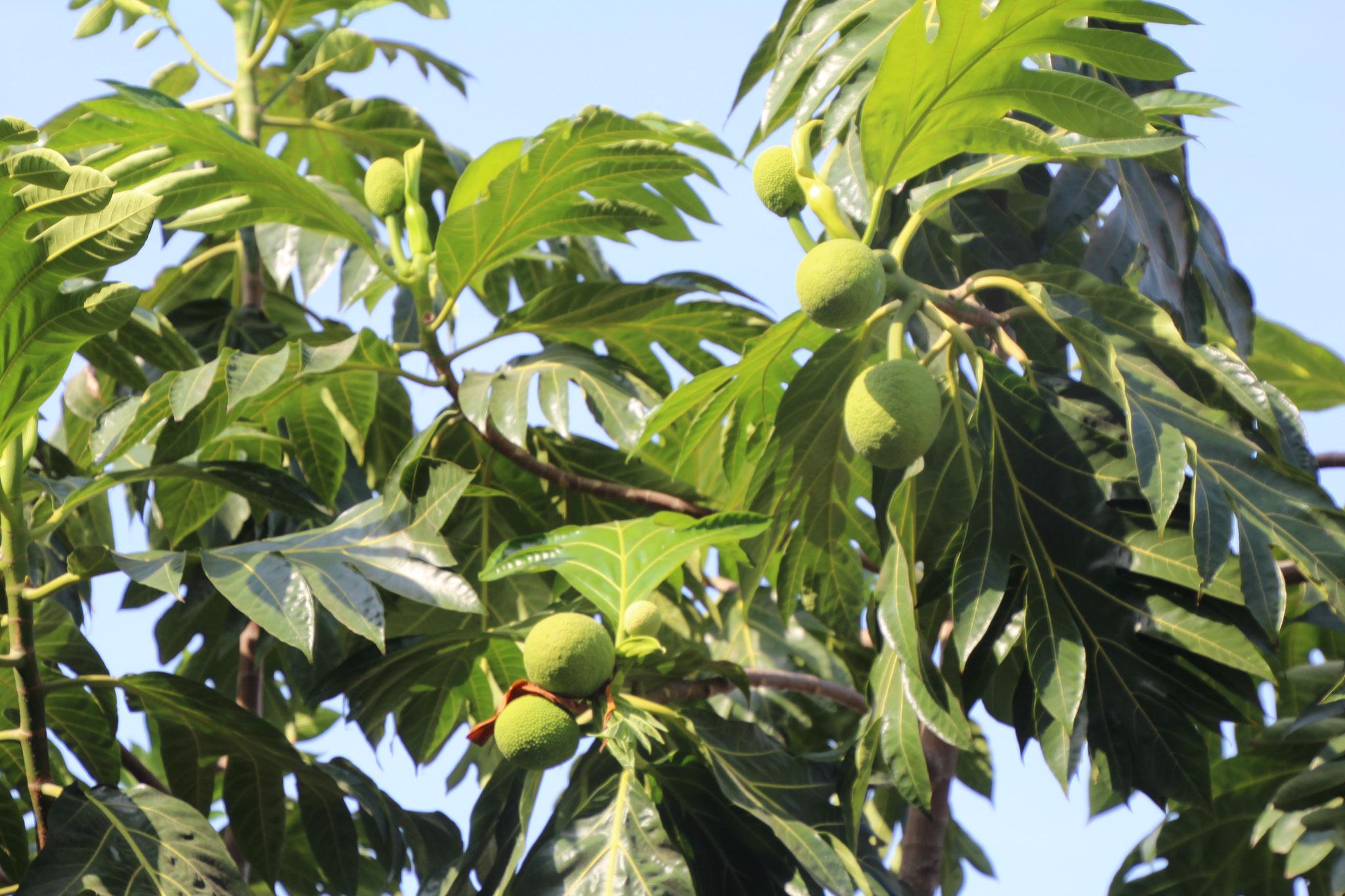 Baumignam. Die Früchte sind Essbar. Ähnlich wie Koliko.
