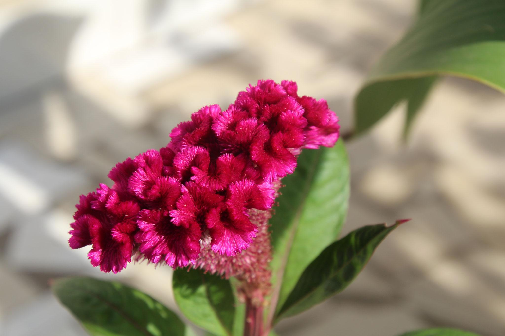 """Diese wunderschöne Blume ist """"der Kamm des Hahnes""""."""