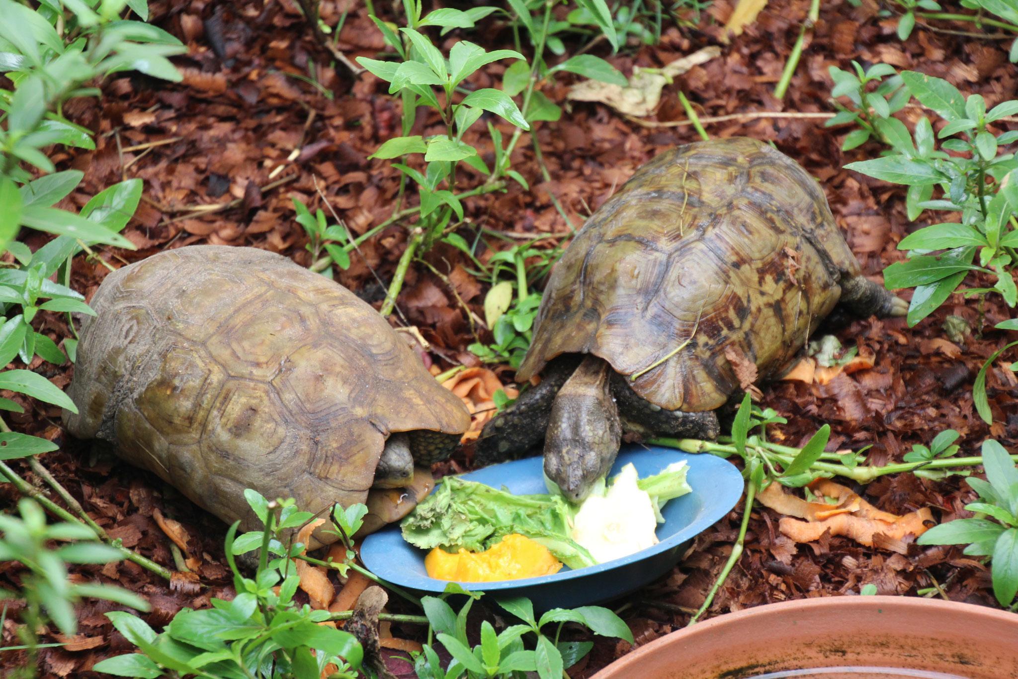 Unsere Gelenkschildkröten.