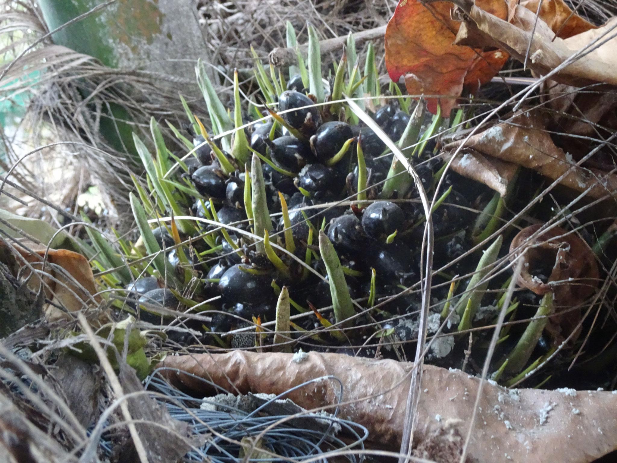 Unreifes Palmöl in unserem Garten.