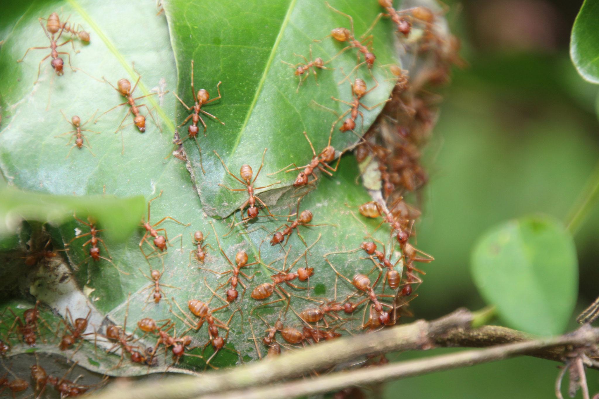 Ameisen nähen die Blätter zusammen. Der Stich dieser Ammeisen ist sehr schmerzhaft.