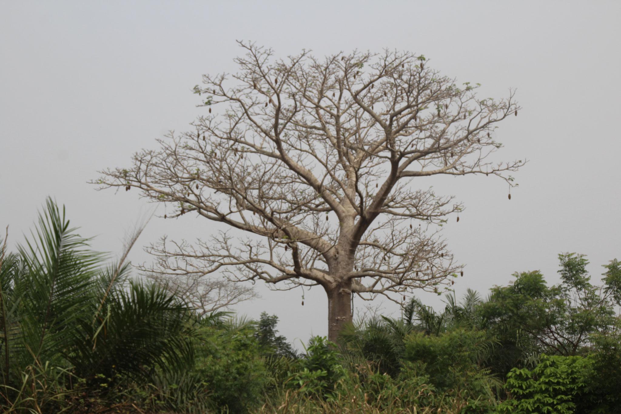 Baobab, wird auch Affenbrotbaum genannt.