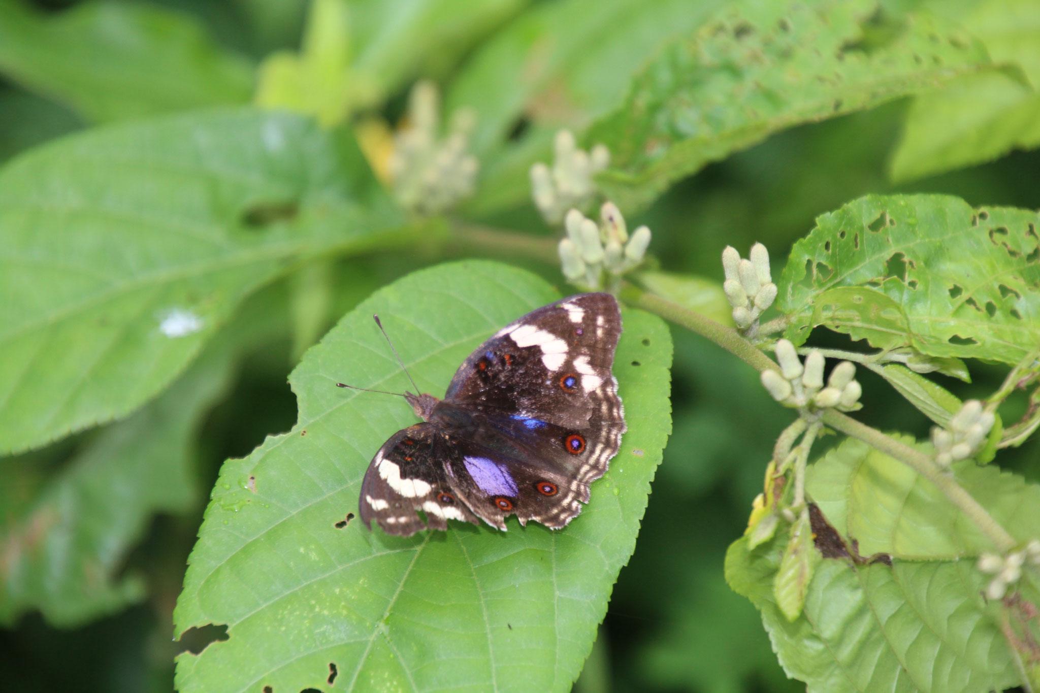 Dieser etwas lädirte Schmetterling ruht sich aus.